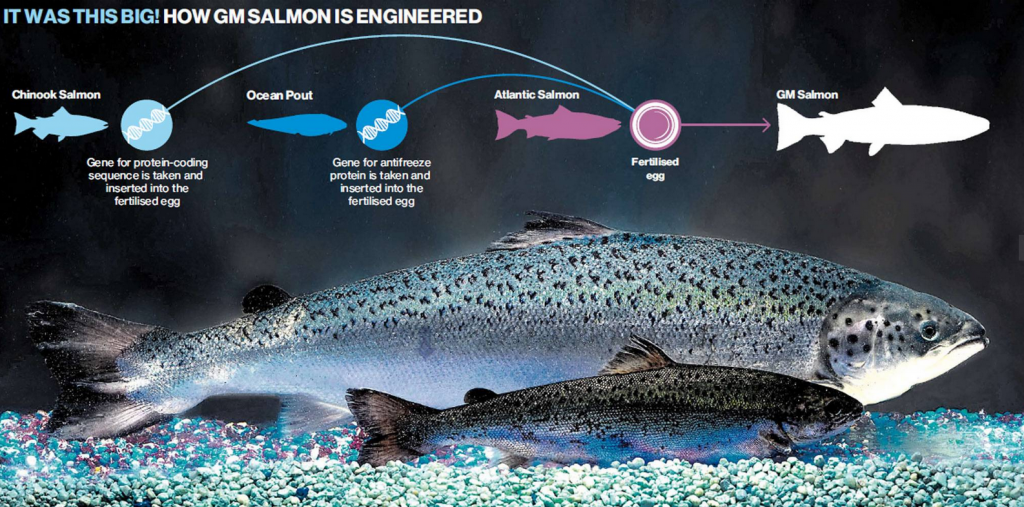 How GM Salmon is Engineered